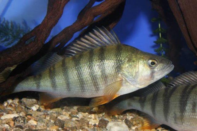 Рыбы ладожского озера список