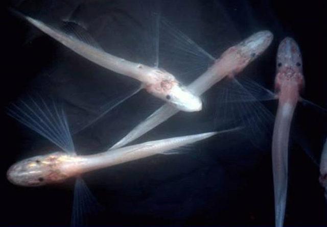 Голомянка: самая удивительная живородящая рыба Байкала